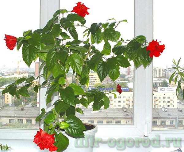 Цветок роза большая уход в домашних условиях