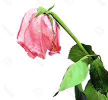 роза (216x200, 28Kb)
