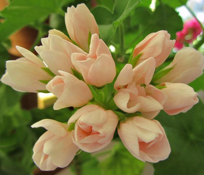 Пеларгония тюльпановидная 7 (700x600, 407Kb)