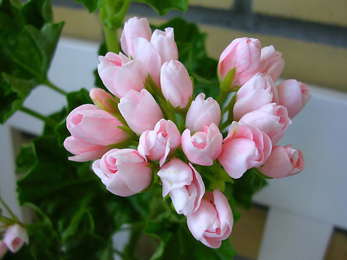 Пеларгония тюльпановидная 11 (700x525, 398Kb)