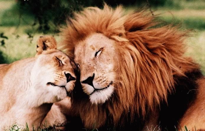 любовь львы (695x444, 268Kb)