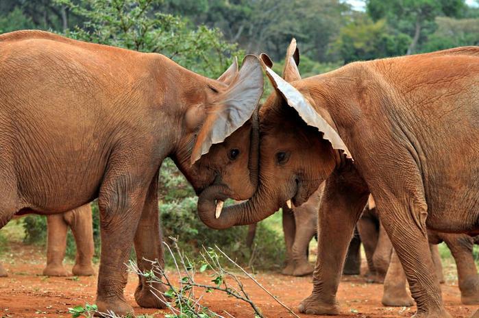 любовь слоны (700x464, 411Kb)
