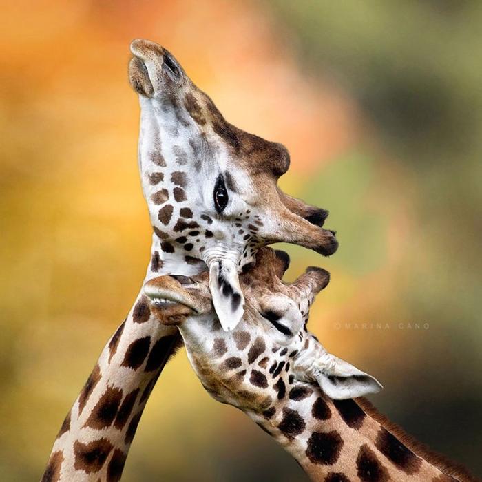 любовь жирафы (700x700, 393Kb)