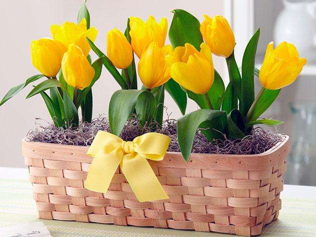 Как вырастить дома тюльпаны к 8 марта/3577132_647 (630x473, 76Kb)