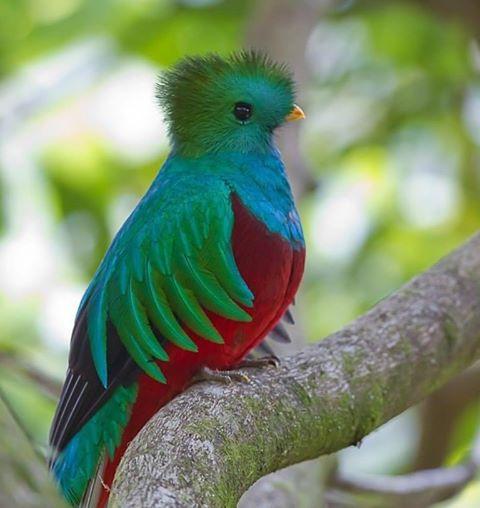 Квезаль - редкая птица, вымирающий вид. Священная птица майя (480x508, 182Kb)