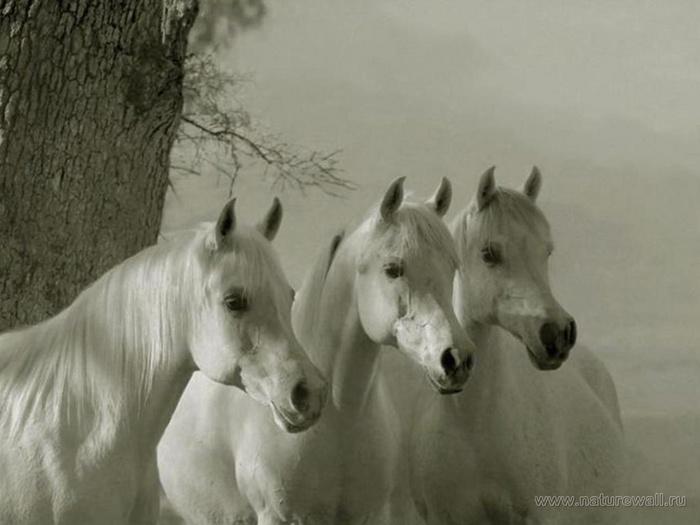 три белых коня 516485533 (700x525, 84Kb)