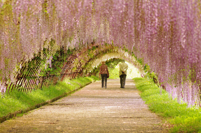 4. Япония. Тоннель глицинии (670x445, 400Kb)