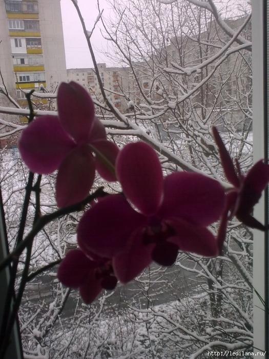 Северодонецк зима январь /3925311_Foto2545 (525x700, 315Kb)