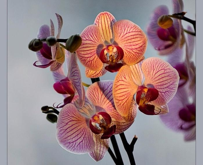 527030__orchids_p (700x570, 357Kb)