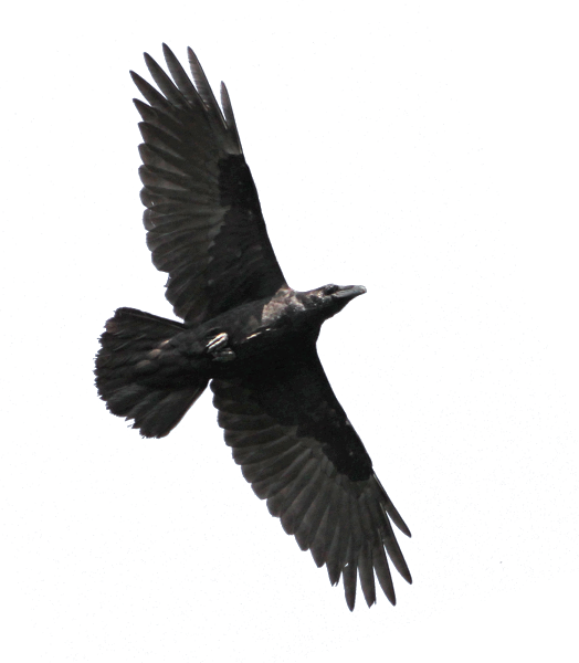 raven (524x600, 187Kb)