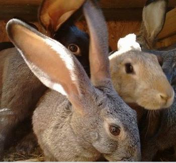 кроли (350x324, 195Kb)