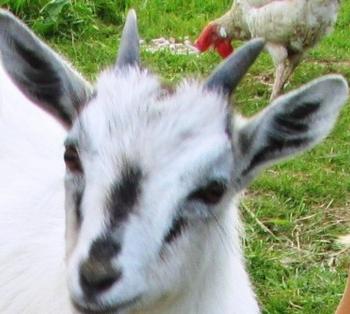 коза (350x314, 190Kb)