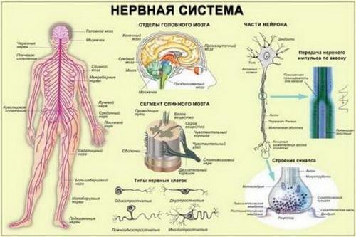 нервы (500x333, 67Kb)