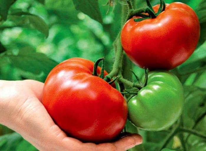 content_tomaty2_1__econet_ru (700x512, 337Kb)