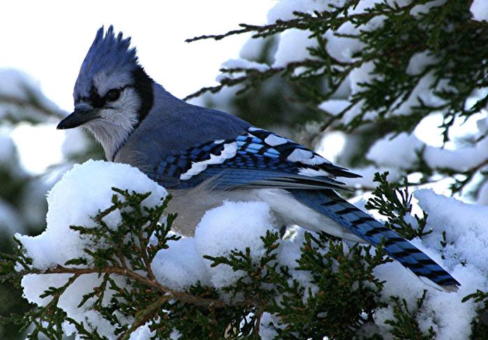 птицы зимой 22 (700x488, 424Kb)