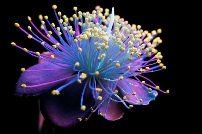 6108242_craig_burrows_fluorescent_flowers_12 (700x466, 65Kb)