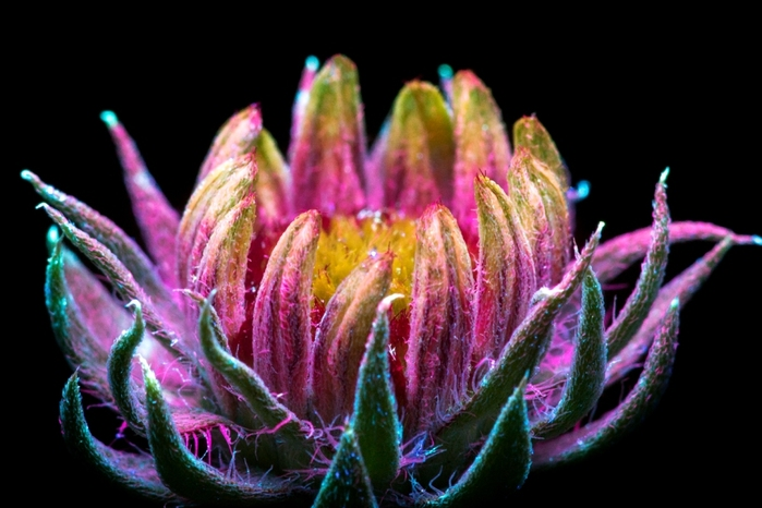 6108242_craig_burrows_fluorescent_flowers_13 (700x466, 176Kb)