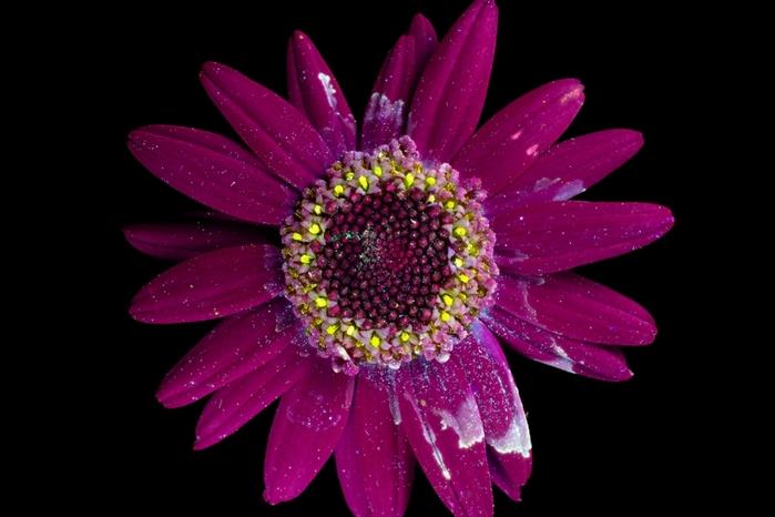 6108242_craig_burrows_fluorescent_flowers_18 (700x466, 139Kb)