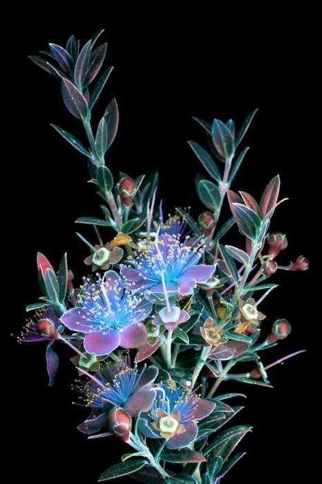 6108242_craig_burrows_fluorescent_flowers_11 (466x700, 44Kb)