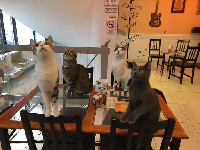 кафе с кошками будапешт 1 (700x525, 355Kb)
