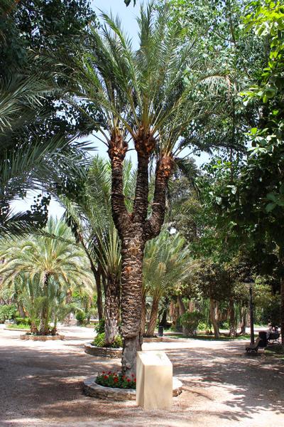 пальмовые рощи эльче 7 (400x600, 536Kb)