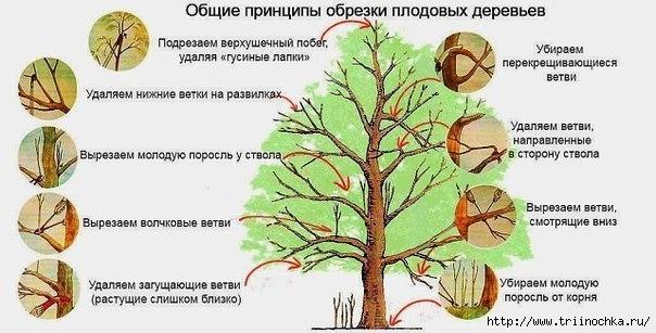 4059776_Obrezka_yablon (604x307, 137Kb)