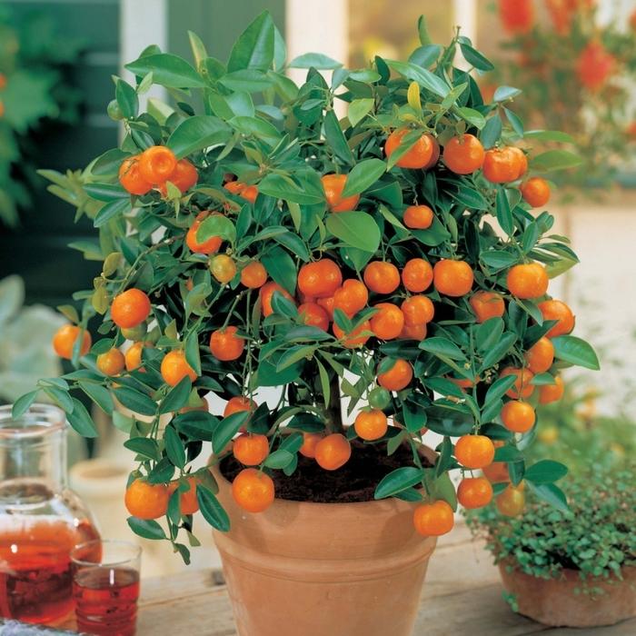 Как вырастить лимон и мандарин в домашних условиях. 12 видео уроков/1783336_025 (700x700, 380Kb)