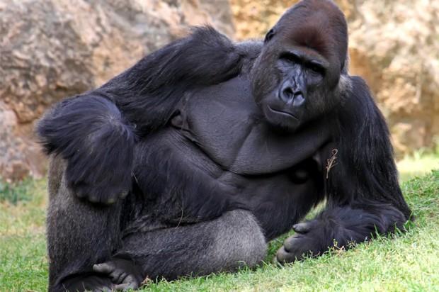 Tcnjrbq секс с гориллой