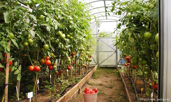 "alt=""Как собрать хороший урожай в теплице?""/2835299_YROJAI_V_TEPLICE (700x420, 315Kb)"