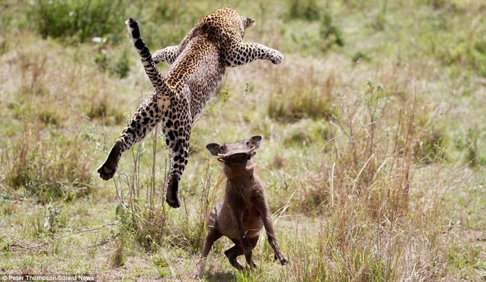 Невероятные прыжки «летающего леопарда» во время охоты на бородавочника