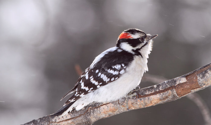 151843__bird-woodpecker-a-bird-a-woodpecker-downy-twig-blur-gray-white-glare_p (700x413, 47Kb)