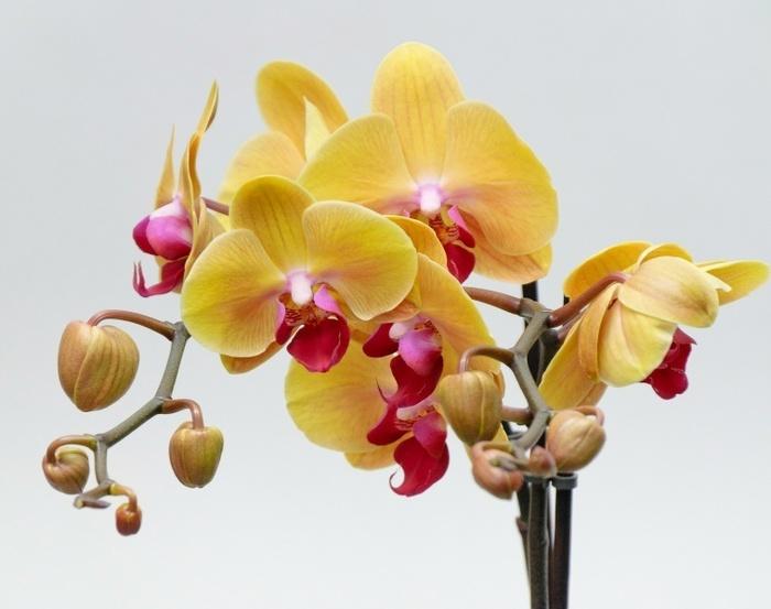 уход за орхидеями/4171694_ (700x553, 86Kb)