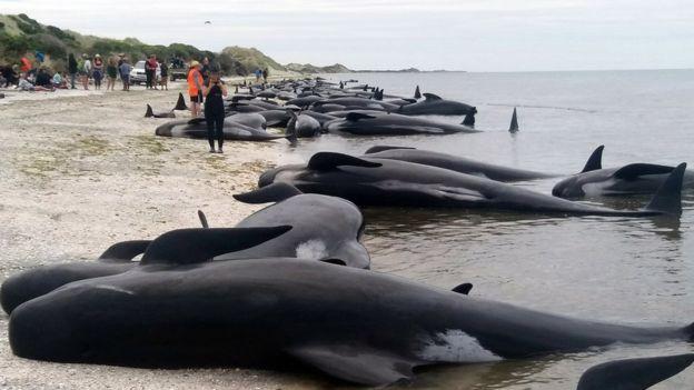 самоубийство китов в новой зеландии 2 (624x351, 126Kb)