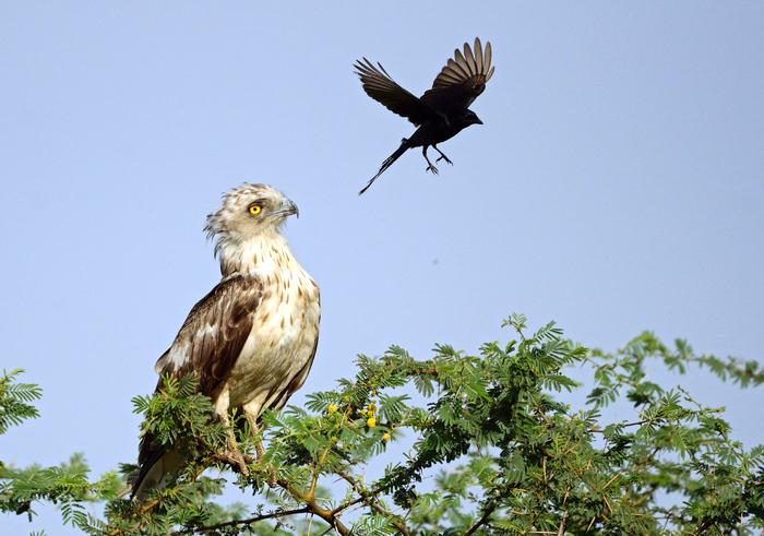 ворона троли орла фото 2 (700x491, 463Kb)