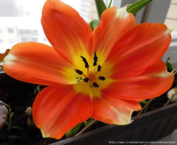 Тюльпан 14 февраля (700x573, 297Kb)