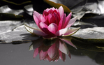 Превью nature_flowers_water_lily__flo (700x437, 196Kb)