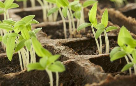 seedling-03-640x408 (440x281, 74Kb)
