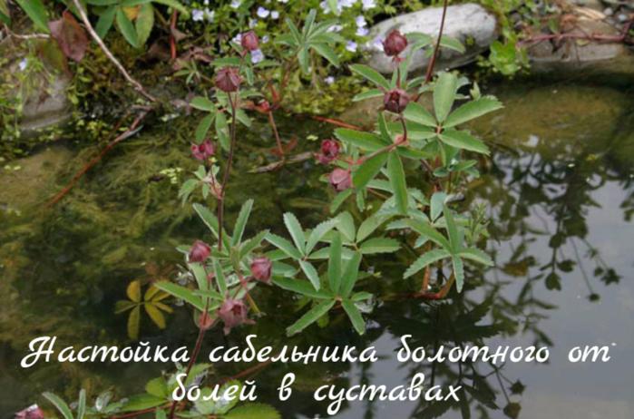 "alt=""Настойка сабельника болотного от болей в суставах""/2835299_Nastoika_sabelnika_bolotnogo_ot_bolei_v_systavah (700x462, 591Kb)"