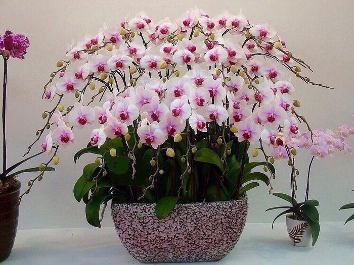 орхидеи люкс (700x525, 450Kb)