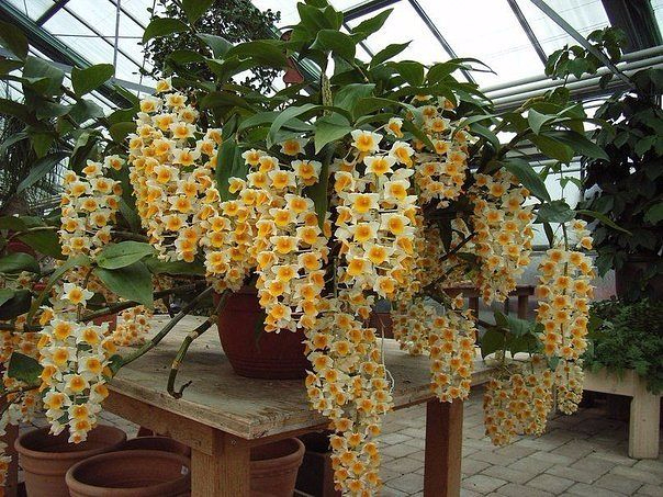 орхидея дендробиум (604x453, 417Kb)