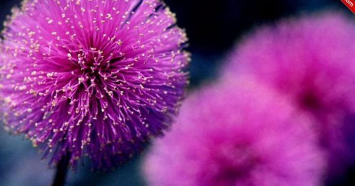 mimoza-cicegi--i314903-1200x630 (700x367, 243Kb)