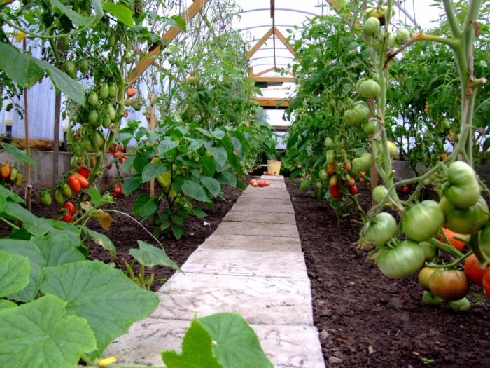 помидоры-в-теплице (700x525, 514Kb)