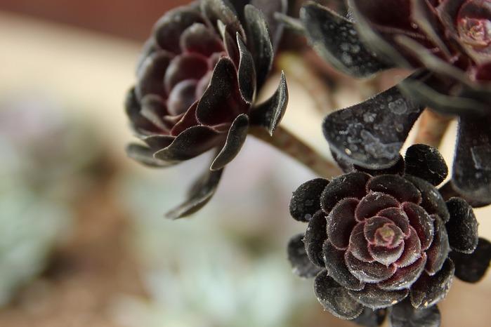 succulents-939919_960_720 (700x466, 70Kb)