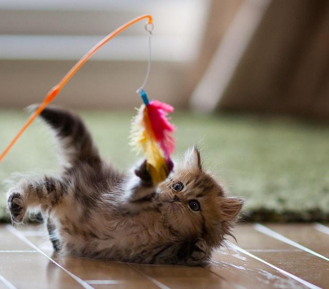кот играет с котом удочкой