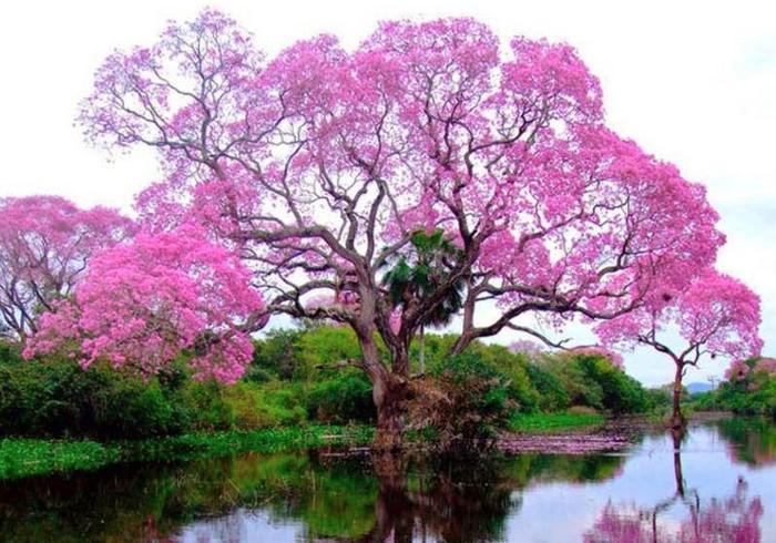 муравьиное дерево фото 1 (700x490, 420Kb)