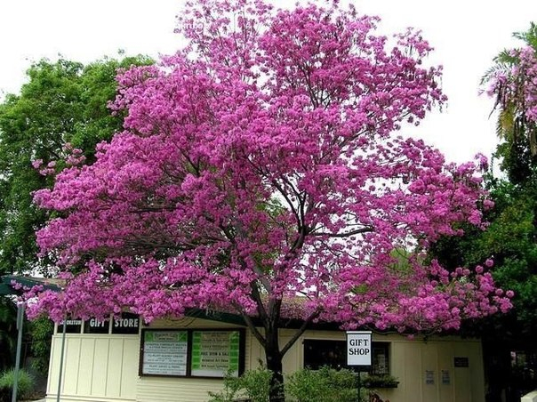 муравьиное дерево фото 4 (604x452, 373Kb)