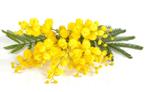 mimosa (245x152, 20Kb)