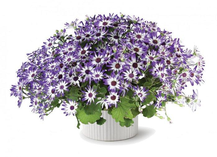 Комнатные цветы цинерария выращивание и уход фото 17