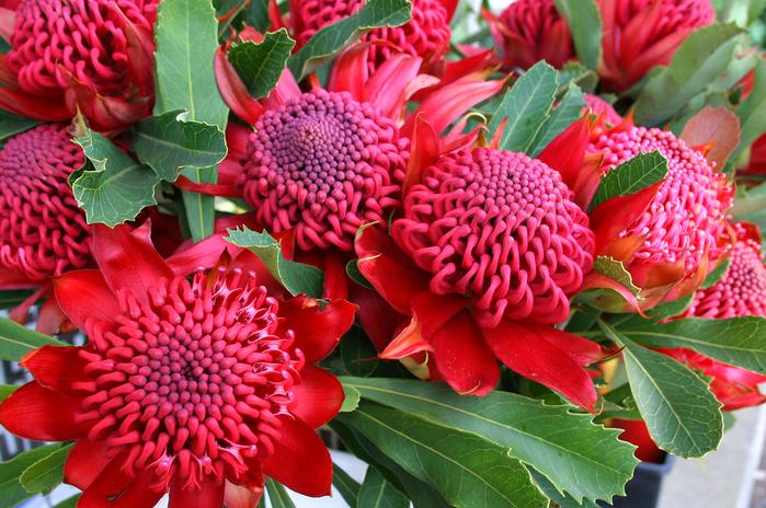 цветы Телопея прекрасная фото 4 (700x464, 553Kb)