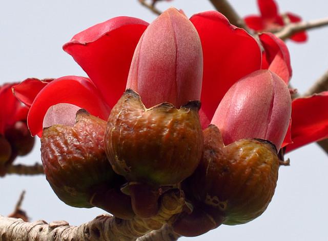 дерево Бомбакс сейба цветы 9 (640x472, 263Kb)